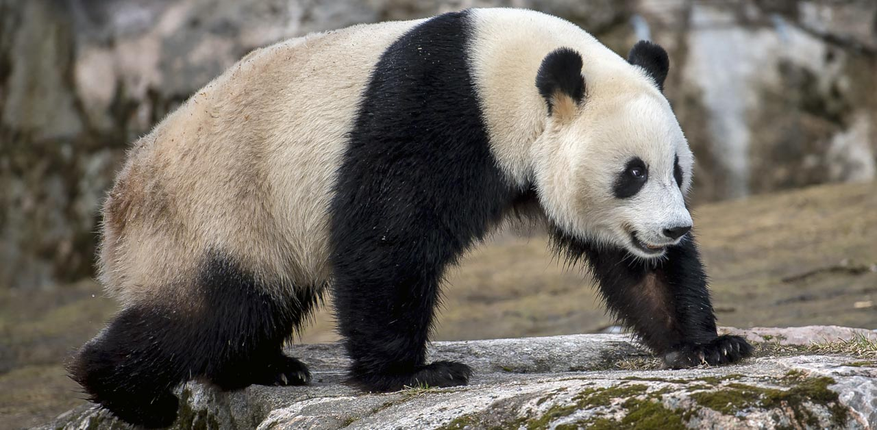 ahtarizoo-panda