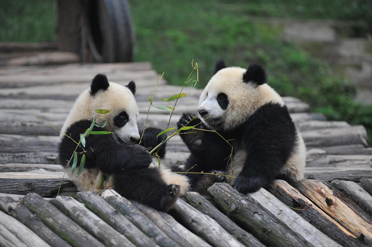 ähtäri Zoo Panda