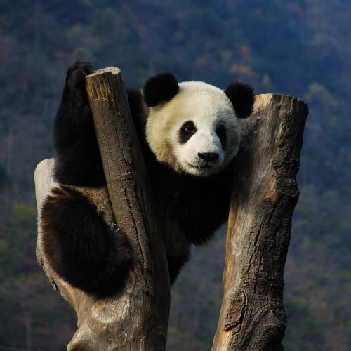 See The Giant Pandas